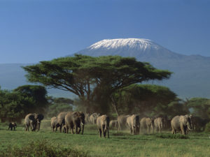 African Elephant (Loxodonta africana) herd in front of Mount Kilimanjaro, Amboseli National Park, Kenya
